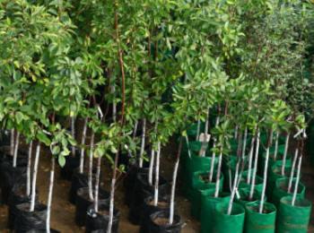Как правильно посадить плодовое дерево или ягодный кустарник в саду
